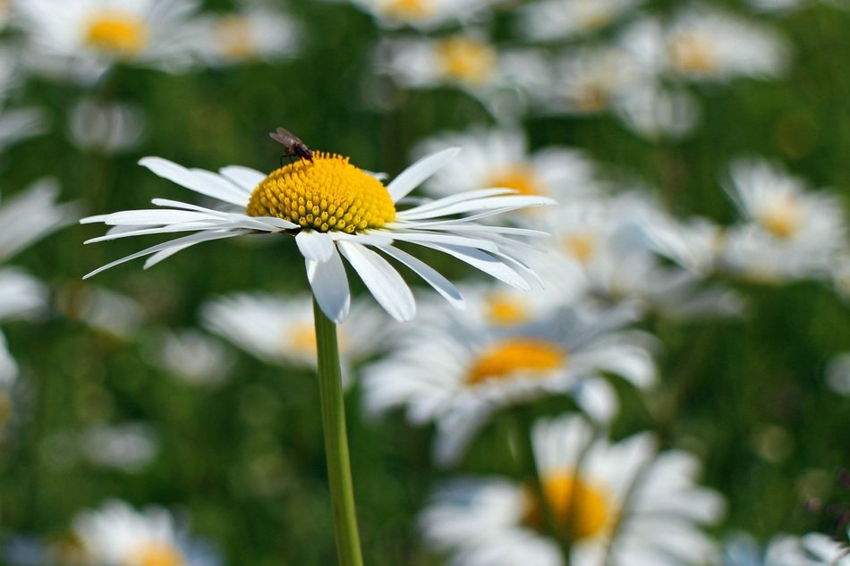 insect on a camomile close up