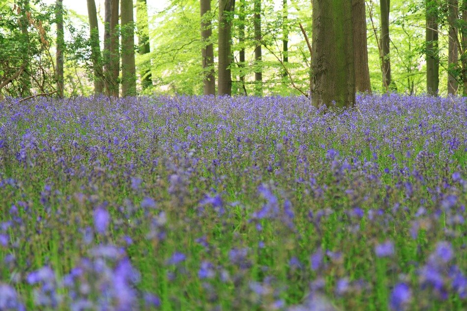 forest glade in blue bells