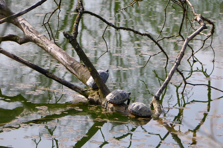 turtles in a pond