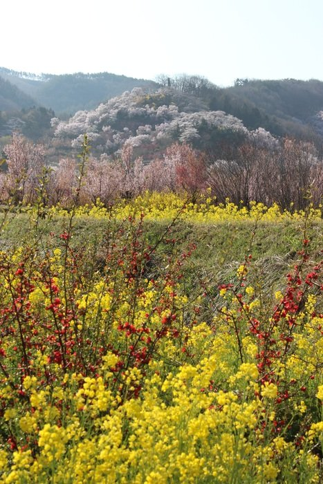 fukushima cherry blossom viewing mountains
