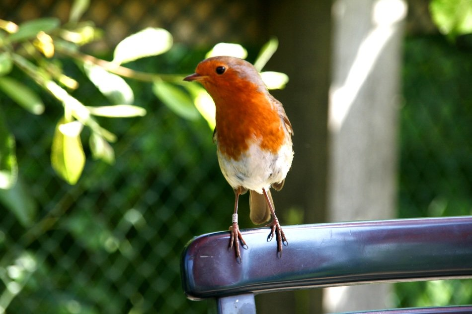 robin bird sitting on a chair