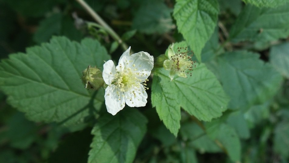 white flower of blackberry