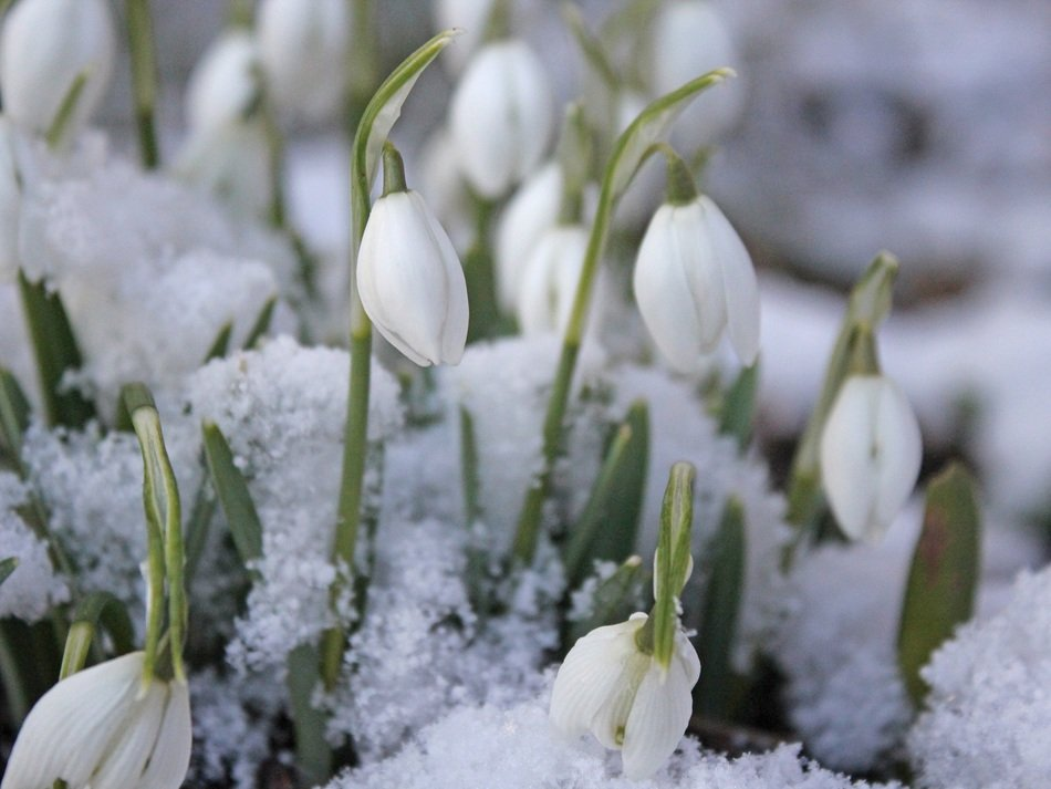 white snowdrops and fluffy snow