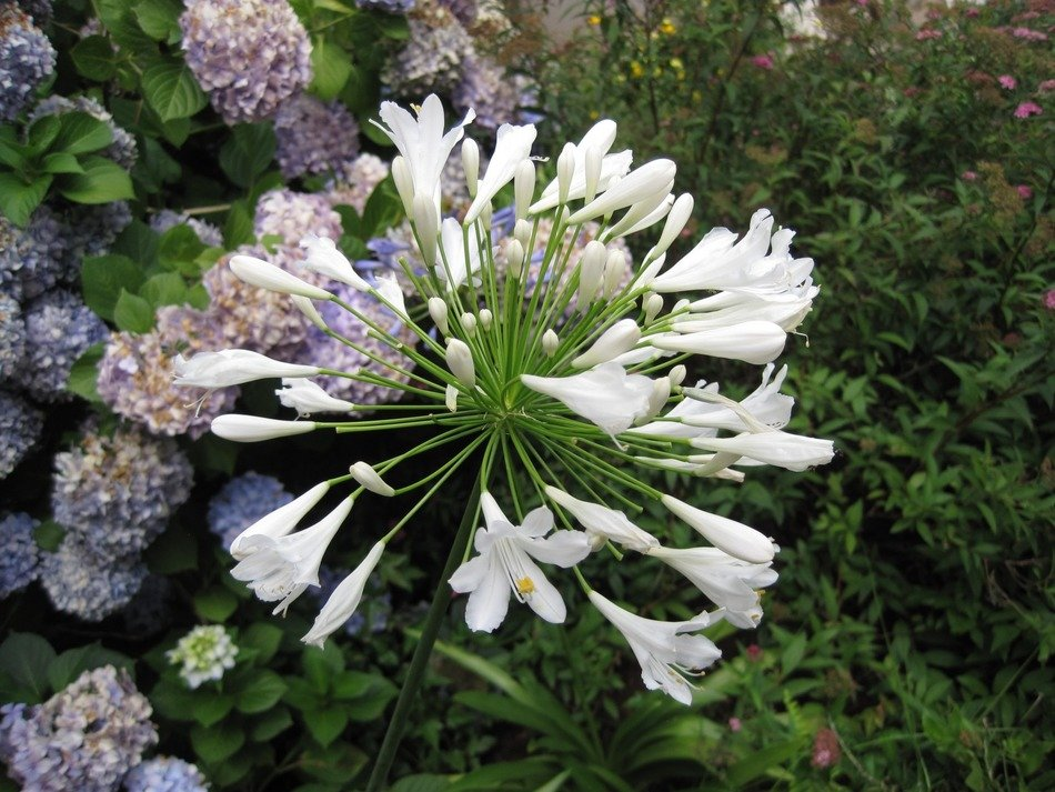 agapanthus wildflowers