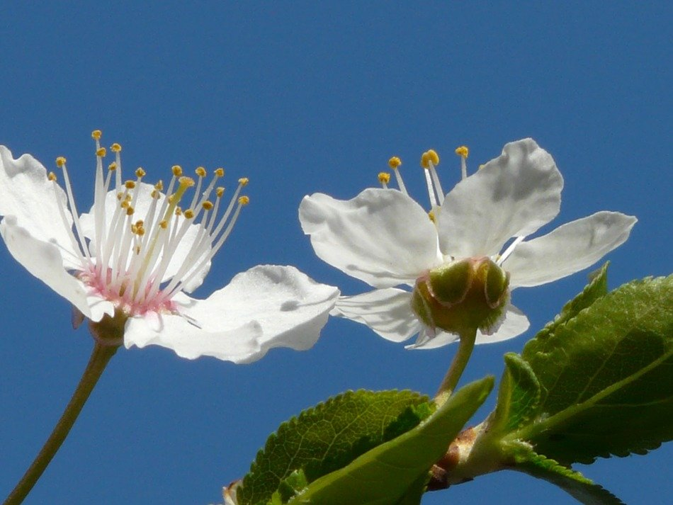 bottom view of the flowers of wild plum