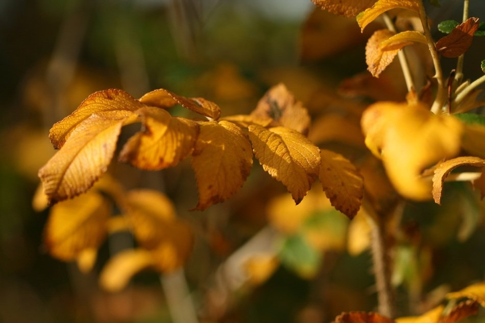 yellow bush in autumn