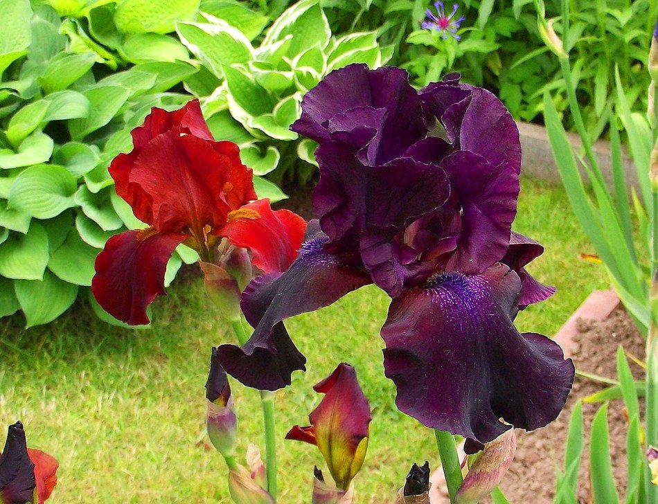 red and purple irises in the garden