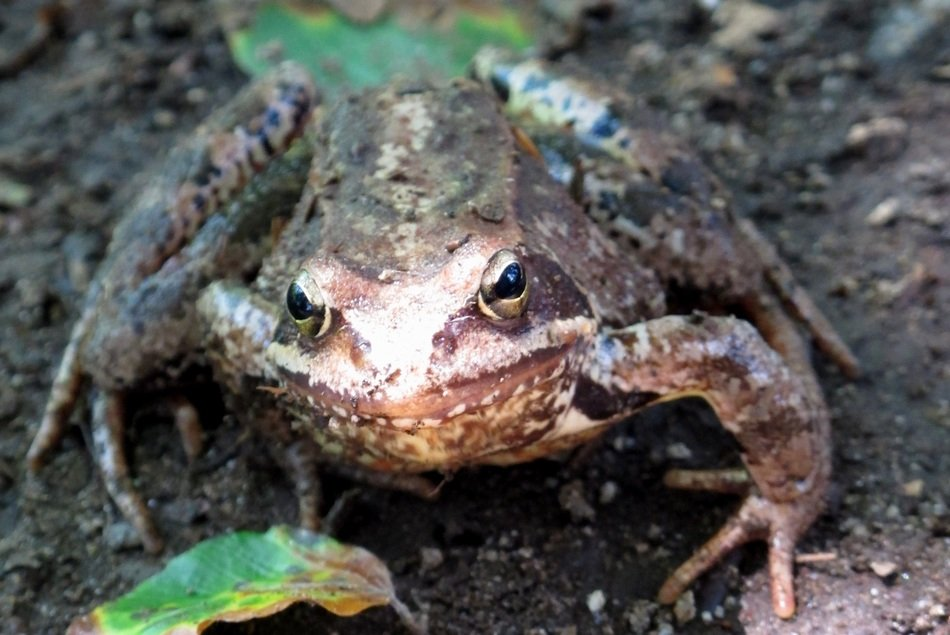 brown toad in the forest