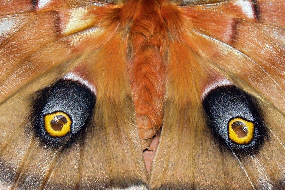 monarch butterfly close up