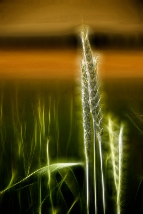 glowing wheat cereals landscape mystical
