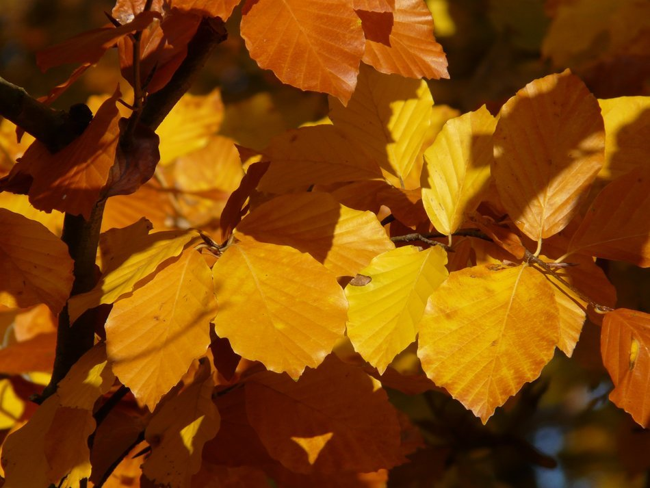 leaves of the European beech in autumn