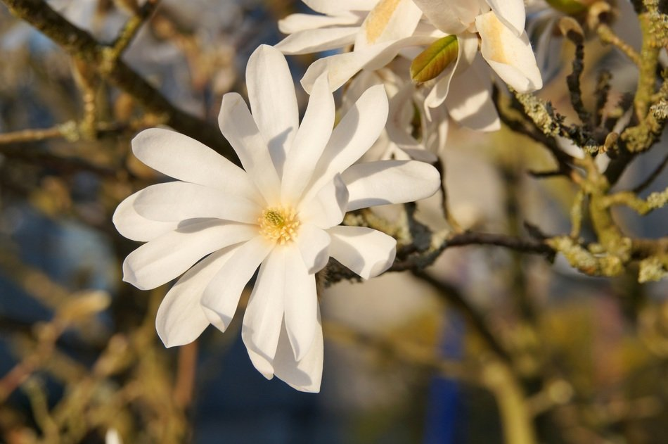 perfect star magnolia flower