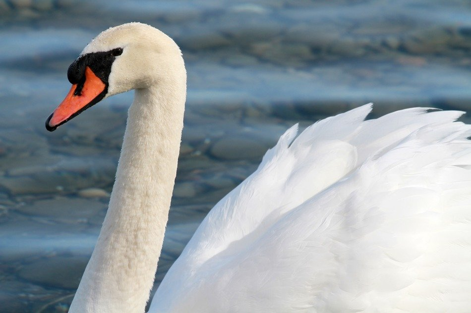 white swan on a lake Close-up