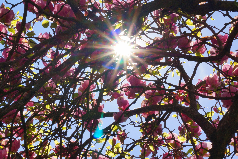 Magnolia Tree Sun Rays Back Light Free Image