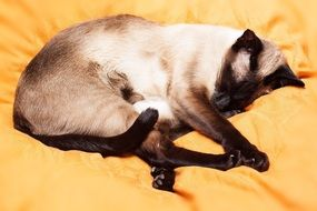 Siamese cat is relaxing