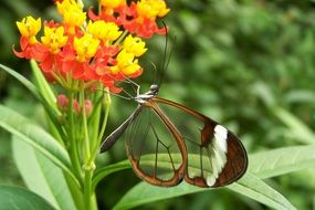 butterfly with transparent wings on a flower close-up