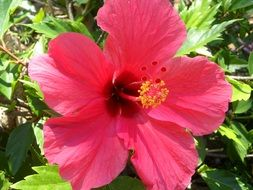 hibiscus is a mallow plant