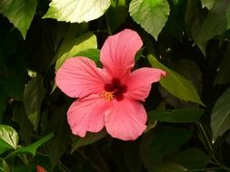 pink hibiscus flower with green leaves in the garden