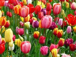 Beautiful colorful tulip flowers