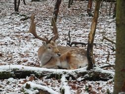 fallow deer laying in winter forest