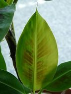 banana leaves close-up