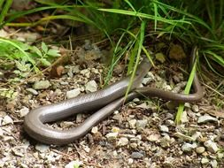 Anguis fragilis or slow worm