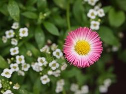 cute daisy wildflower pink petals