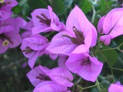 pink bougainvillea flower blooming macro