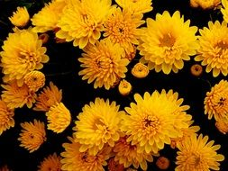 yellow chrysanthemums is autumn flowers