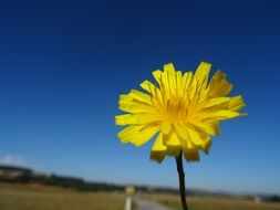 small yellow hawkweed flower
