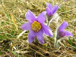 purple common pasque flower closeup