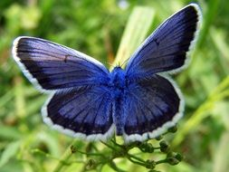 filigreed blue black butterfly in wildlife