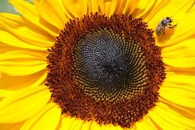 yellow helianthus annuus with small bee macro