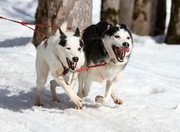 husky dogs running in the snow