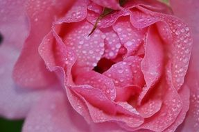 lush pink rose in drops of water close-up