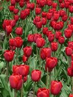 glade of red tulips