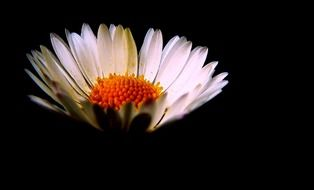 daisy flower white petals lighted