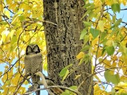 great grey owl in the nature