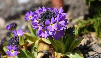 purple primrose in a spring garden