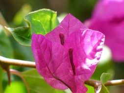 attractive bougainvillea colorful flowers