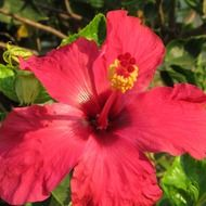 red hibiscus flower petals