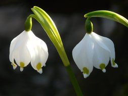 Closeup Picture of snowflake spring flowers