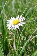 white daisy among the grass