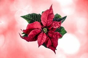 christmas poinsettia flower on the pink background