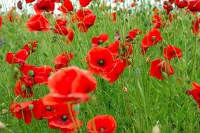A lot of red poppy flowers
