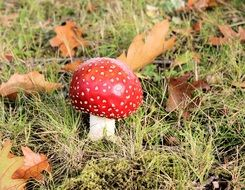 fly agaric is a kind of poisonous mushrooms