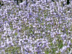 Field of blossoming purple lavender