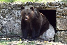 Picture of wild brown bear