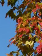 green-red maple leaves on a tree