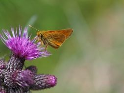 brown butterfly on purple thistle flower